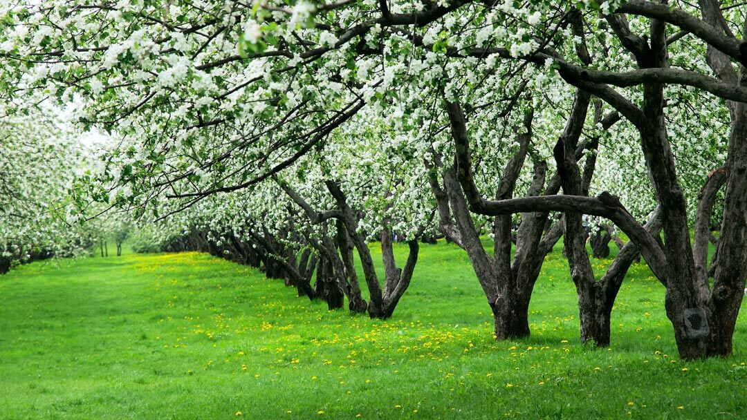 medford or pear orchard blooming